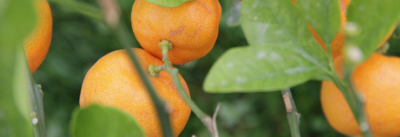 plante-agrume